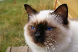 Birman - Cat breed