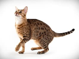 Ocicat - Cat breed