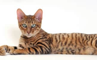Toyger - Cat breed