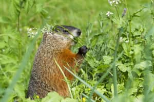 How much wood would a woodchuck chuck -