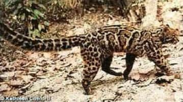 Marbled cat - Animal